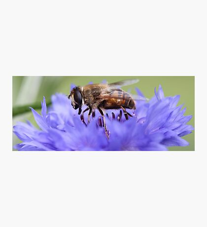 Honeybee - Knee Deep in Blue Amaranthus Photographic Print