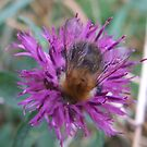 Honey Bee  by Gemma27