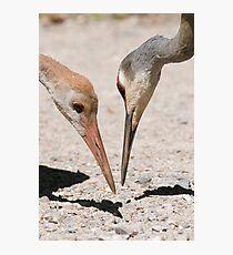 sandhill cranes Photographic Print
