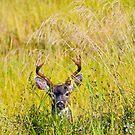 A Deer in the Grass  by David Friederich
