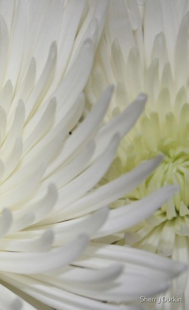 White Mums by Sherry Durkin