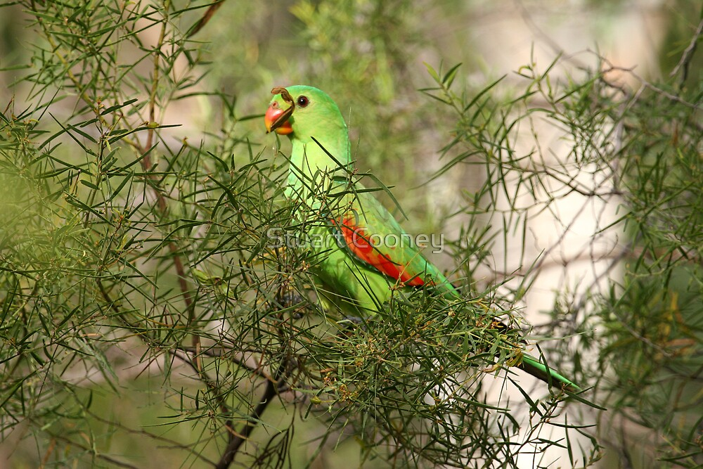Red-winged Parrot by Stuart Cooney