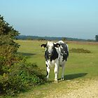 Cow In The New Forest_Wiltshire_England by Kay Cunningham