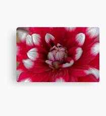 Red and white Dahlia (Dahlia x hortensis) Canvas Print