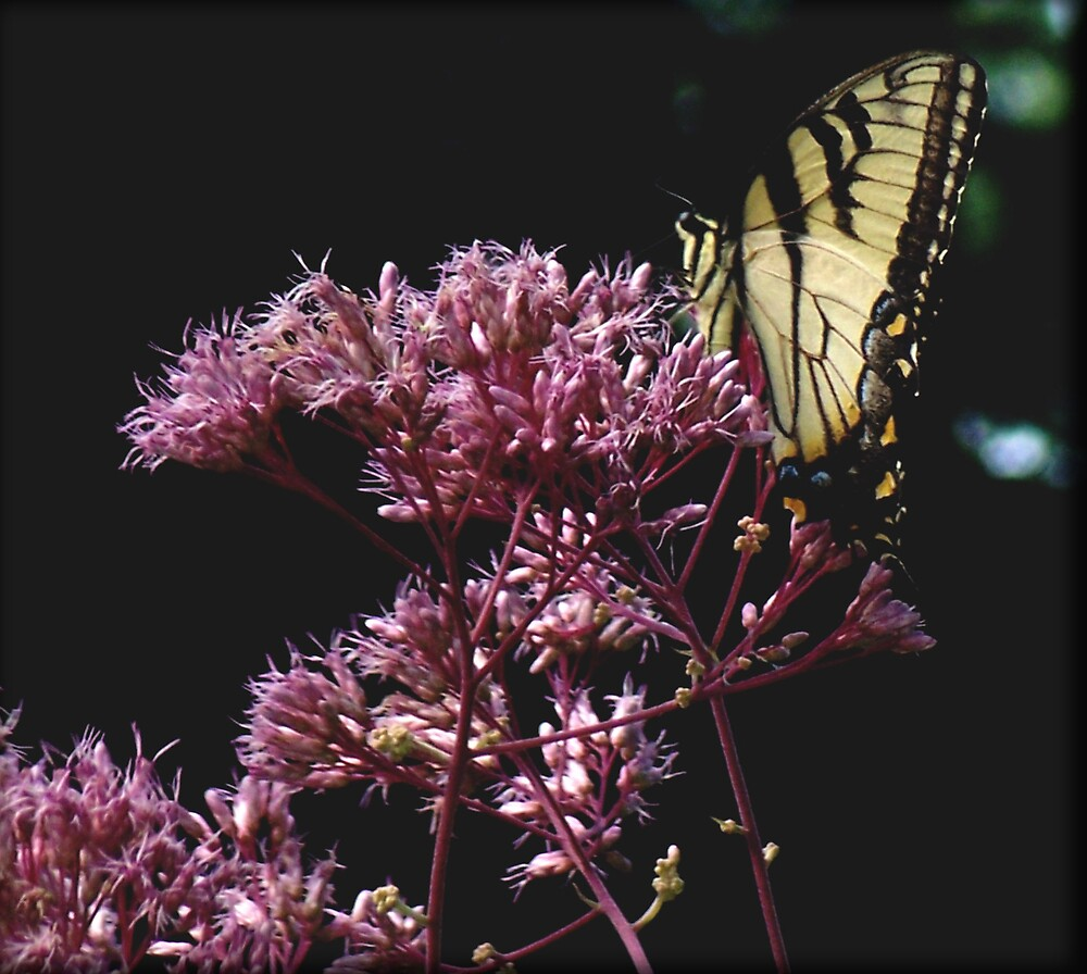 Yellow and Black Butterfly by Judi Taylor