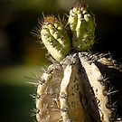 Cactus Buds by George Lenz