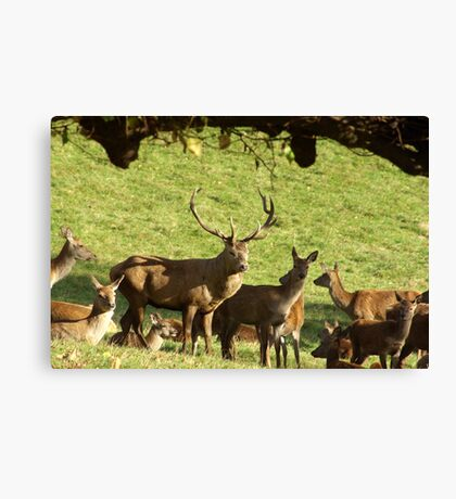 They are all mine - Red Deer. Canvas Print