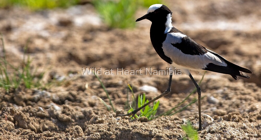 Blacksmith Plover striding out by Wild at Heart Namibia