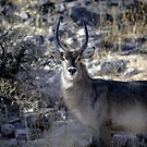 Waterbuck standing proud by Wild at Heart Namibia