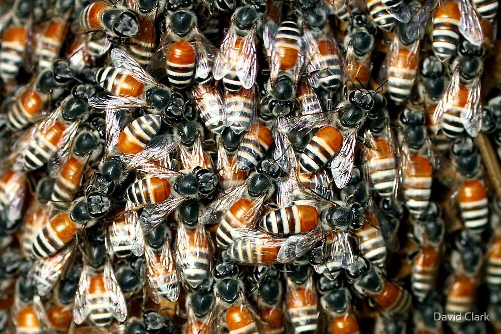Wild Arabian Dwarf Honeybee  by David Clark