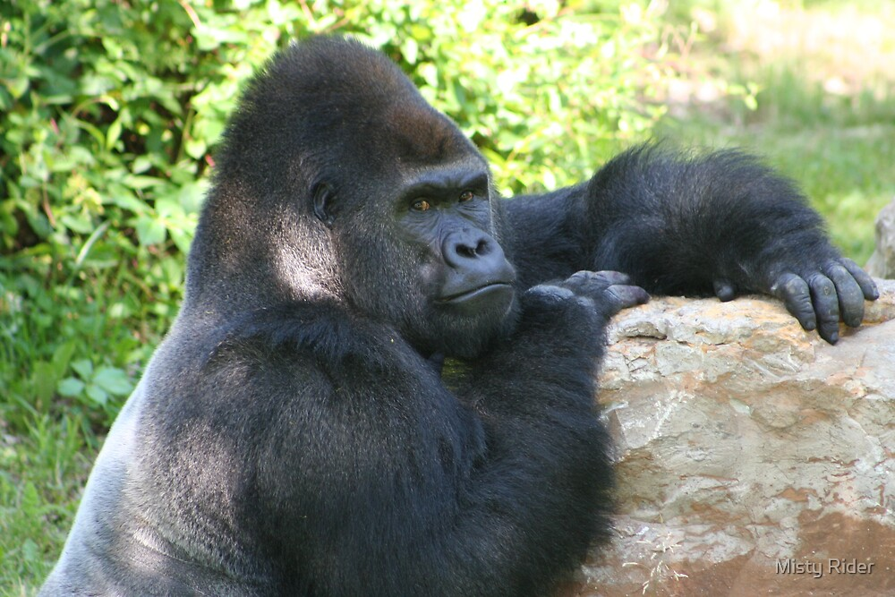 Silverback Gorilla stare down by Misty Rider