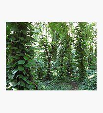 Maui Jungle Walk  Photographic Print
