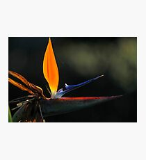 close up of a Bird of paradise flower Photographic Print