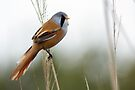 Bearded Tit by Alan Forder