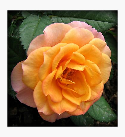 Soft and Gentle Apricot and Pink Rose Photographic Print