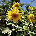 Sun flowers  by KyraMackenzie
