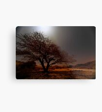 Umbrella Thorn Acacia (Acacia tortilis) Metal Print
