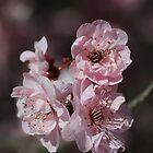 Beautiful Spring Pink Prunus Blossom  by Joy Watson