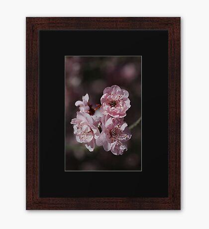 Beautiful Spring Pink Prunus Blossom  Framed Print