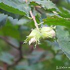 Hazelnuts by AHELENE