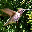 HummingBird by AnnDixon