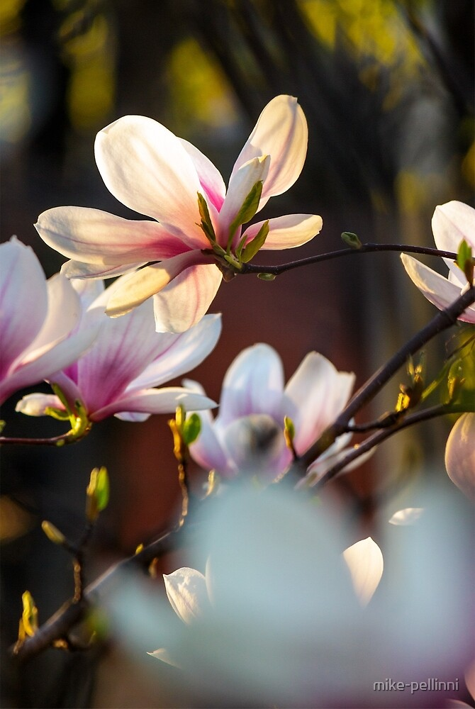 magnolia flowers on a blurry background by mike-pellinni