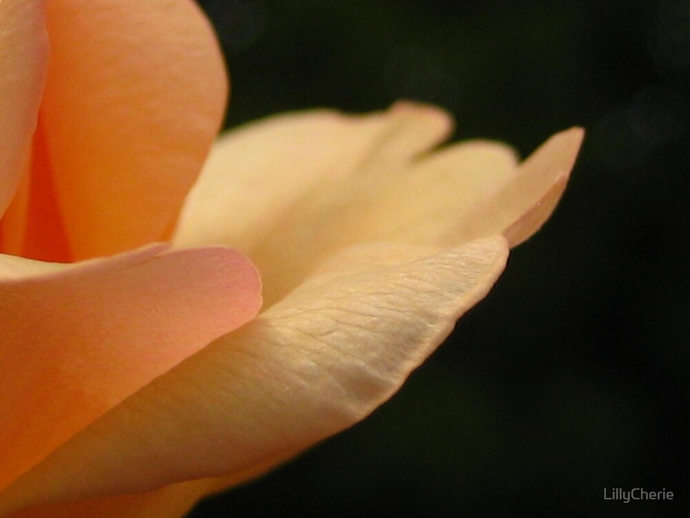 Apricot Rose by LillyCherie