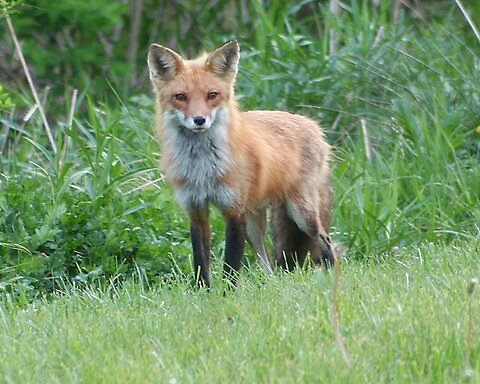 Mother Fox by Cj Virgie