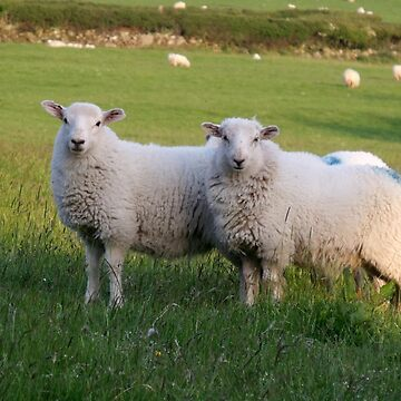 Sheep of Llanfairfechan. by mhhaslam