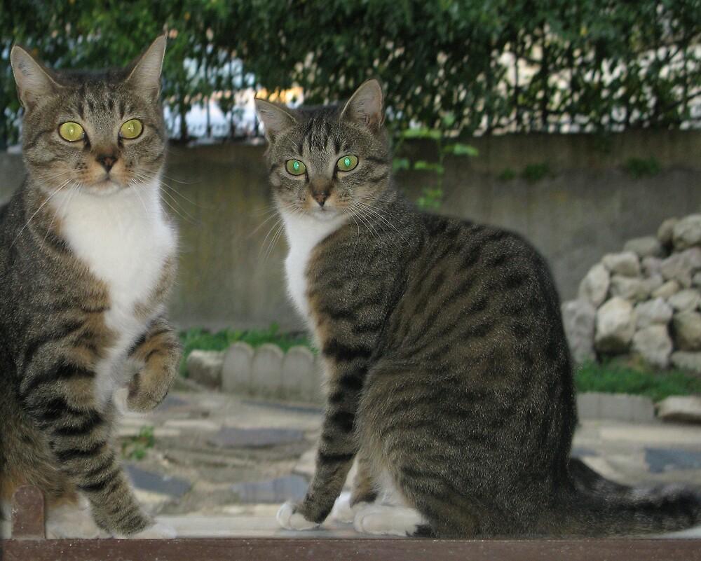 Do cats get green eye? by John Thurgood