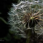 Dandelion Gone To Seed by craig-reeves