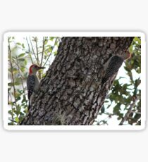a pair of woodpeckers Sticker