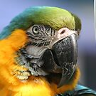 Blue and Gold Macaw by Terri~Lynn Bealle