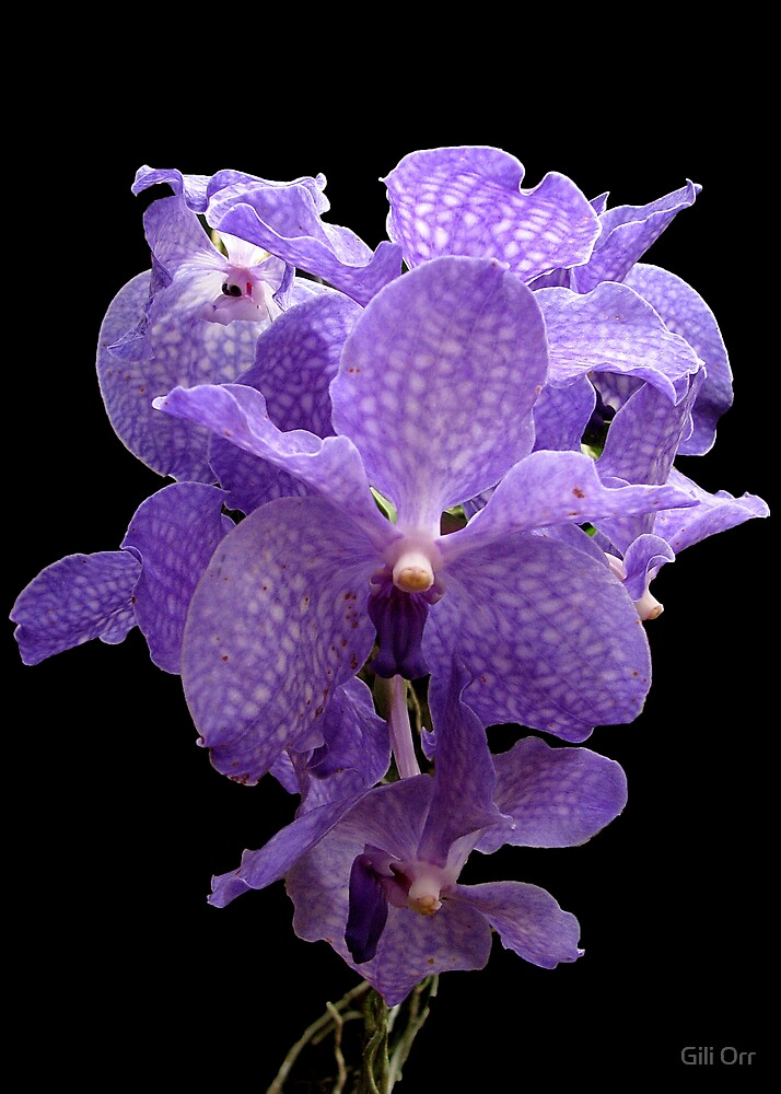Orchid dream by Gili Orr