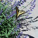 Tiger Swallowtail butterfly perfectly named......... by DonnaMoore