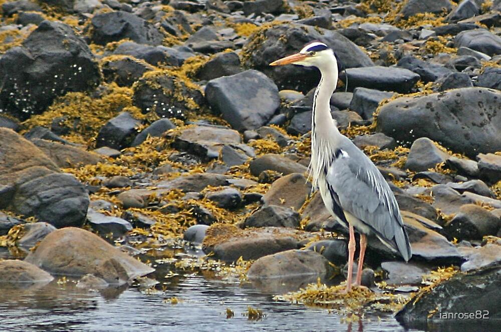 Grey Heron by ianrose82