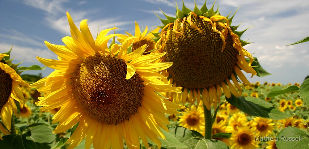 Sunflowers by Mathew Russell