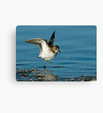 Least Sandpiper Canvas Print
