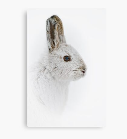 Showshoe Hare Canvas Print
