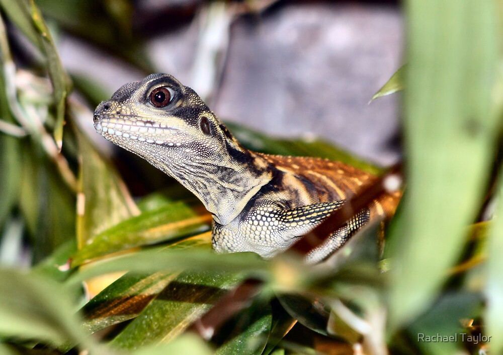 Little Lizard by Rachael Taylor