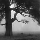 Tree in Mist by Geoff Smith