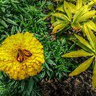 Skipper Butterfly on a Marigold  by Jane Neill-Hancock