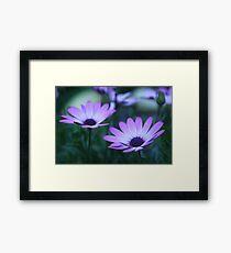 daisy dawn (osteospermum) Framed Print