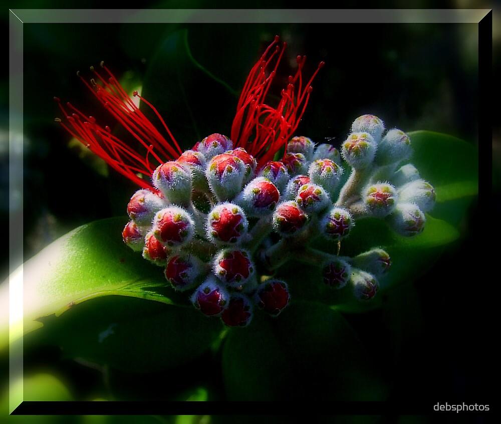 """"""" NZ Xmas Bush Bloom"""" by debsphotos"""