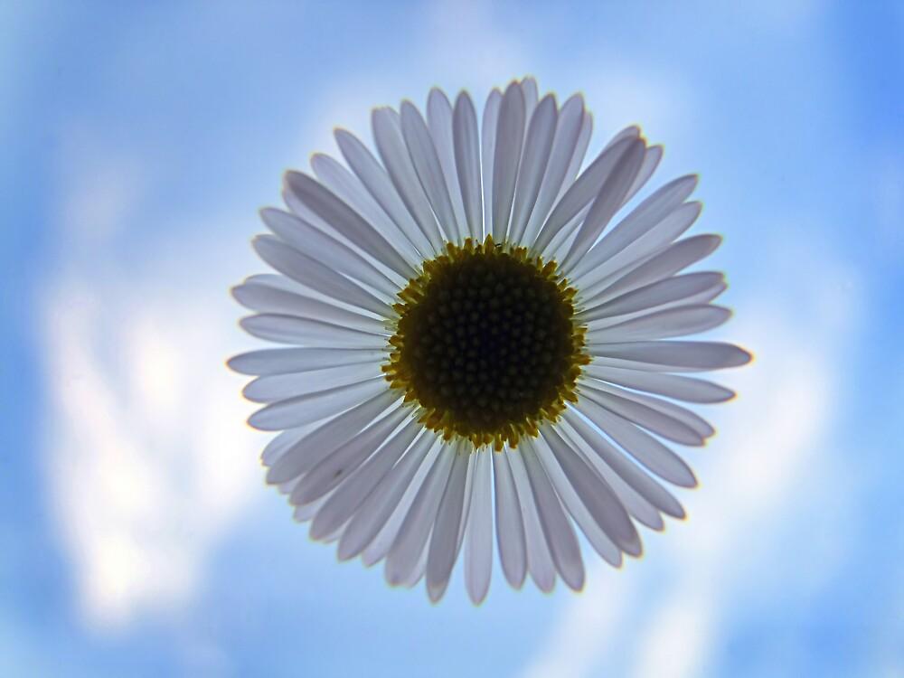 Daisy in the Sky by Trevor Farrell