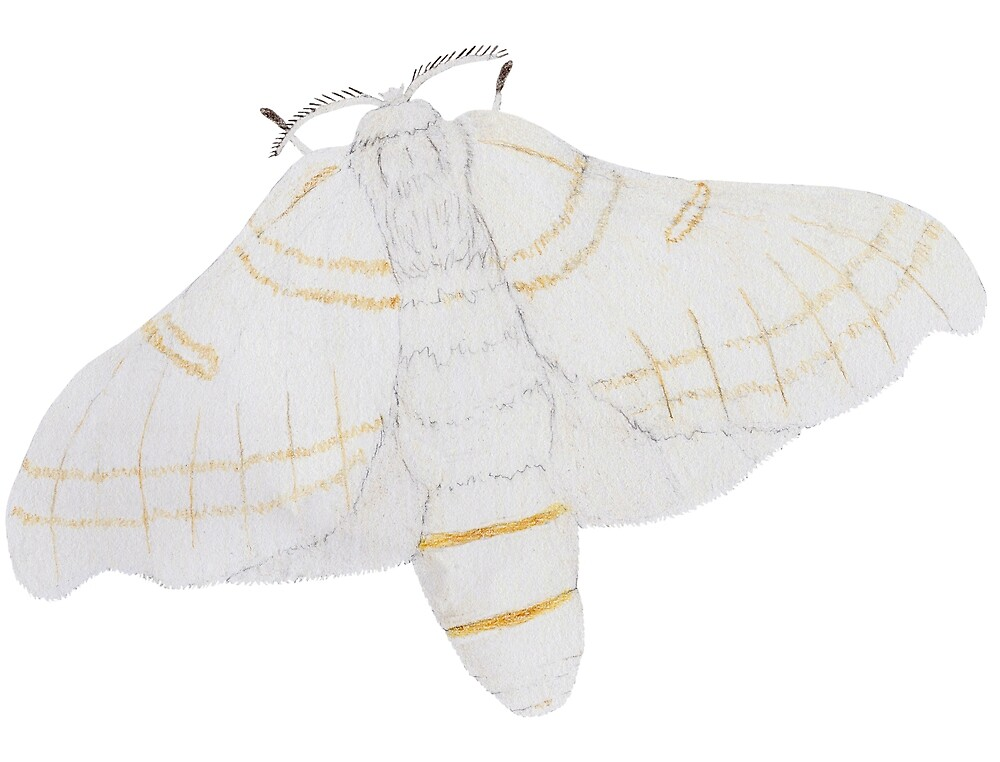 Silk moth from above by Linda Ursin