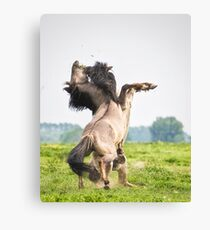 Horses don't usually fight over grass Canvas Print