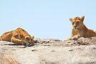 African Lions, Serengeti, Tanzania  by Carole-Anne