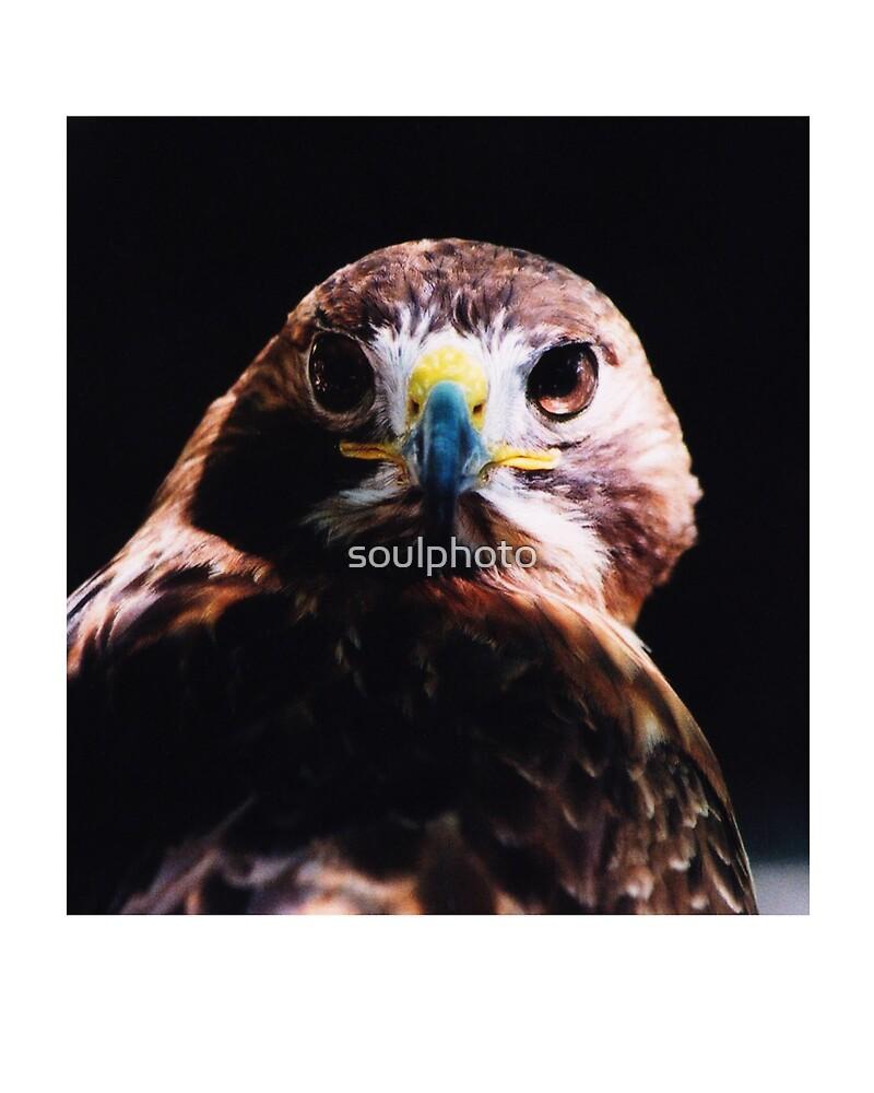 Red Shoulder Hawk by soulphoto