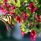 Beautiful Butterfly by Lesliebc